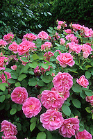 Blooming Carefree Delight Roses, Backyard Garden, New Jersey
