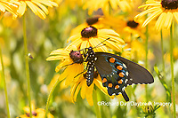 03004-01519 Pipevine Swallowtail (Battus philenor) on Black-eyed Susans (Rudbeckia hirta) Marion Co. IL
