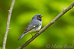 Black-throated Blue Warbler (Dendroica caerulescens) male in breeding plumage, singing in spring, New York, USA