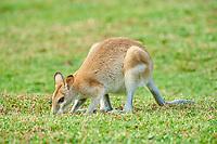 agile wallaby, or sandy wallaby, Macropus agilis, grazing on a meadow, Queensland, Australia, Oceania