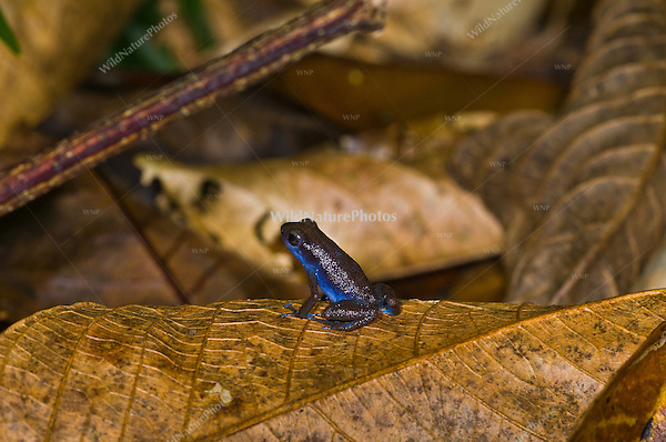 "A blue Strawberry Poison Dart Frog (Oophaga pumilio ""Darkland"") from an area called Darkland, Panama"