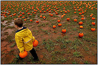 A boy carries two pumpkins through a pumpkin patch as he searches for the great pumpkin. Model released. Photo taken at a North Carolina pumpkin patch.