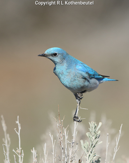 A male mountain bluebird perches on a sagebrush stem.<br />