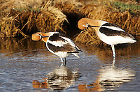 Avocet - Mating Ritual