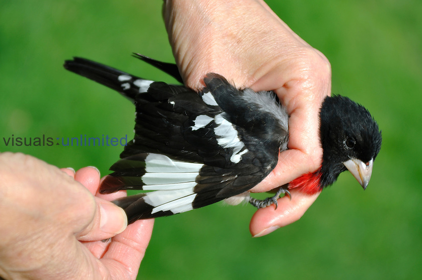 Hands holding banded male Rose-breasted Grosbeak (Pheucticus ludovicianus)