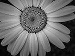 6.19.17 - Daisy...