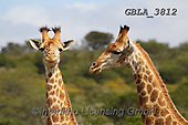 Bob, ANIMALS, REALISTISCHE TIERE, ANIMALES REALISTICOS, wildlife, photos+++++,GBLA3812,#a#, EVERYDAY ,giraffe,giraffes