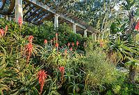Le domaine du Rayol en f&eacute;vrier : le jardin sud-africain, la pergola et les alo&egrave;s arborescents (Aloes arborescens) en fleurs.<br /> <br /> (mention obligatoire du nom du jardin &amp; pas d'usage publicitaire sans autorisation pr&eacute;alable)