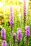 Liatris on the waterfront, Boston, Massachusetts, USA