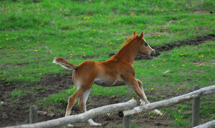 Foal on the run with tail in the air.