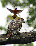 An Osprey, perched on a tree, is attacked by a small yellow and orange bird, near the Clearwater Festival Audience Camping area at Croton Point Park on Sunday, June 17, 2012. Photograph taken by Jim Peppler. Copyright Jim Peppler/2012.