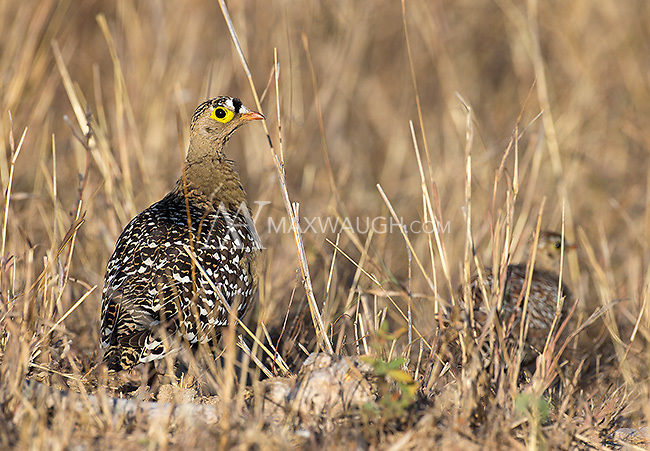 The double-banded sandgrouse was one of many fowl species seen during our trip.