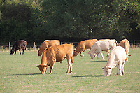 Beef cattle grazing <br /> &copy;Tim Scrivener Photographer 07850 303986<br />      ....Covering Agriculture In The UK....