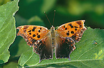 1168-HK Polygonia interrogationis, Question Mark Butterfly