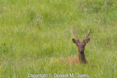 Elk (Rocky Mtn) (Cervus canadensis)