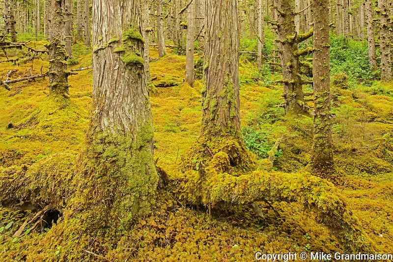 Coastal rain forest. Naikoon Provincial Park. Graham Island. , Haida Gwaii (formerly the Queen Charlotte Islands), British Columbia, Canada