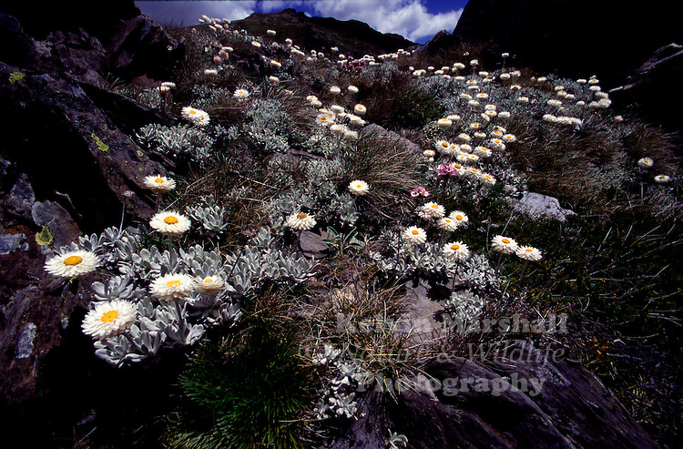 Large mountain daisies are a feature of New Zealand's alpine grasslands. There are nearly 50 species of mountain daisy (Celmisia) growing in alpine habitats in New Zealand. They all have white ray flowers surrounding a central disc of tiny yellow flowers.