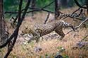 Adult female leopard (Panthera pardus) climbing tree. Panna Tiger Reserve, Madhya Pradesh, Central India
