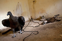 A condor is kept inside a room with donkey meat to feed on during the Yawar Fiesta in Coyllurqui in the Peruvian Andes on Independence Day. This celebration symbolises the clash between the indigenous people (represented by the condor) and the Spanish (represented by a bull). The condor is paraded around town, strapped on top of the bull, given alcohol, and finally set free.