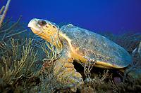 loggerhead sea turtle, Caretta caretta, Florida, USA, Caribbean Sea, Atlantic Ocean