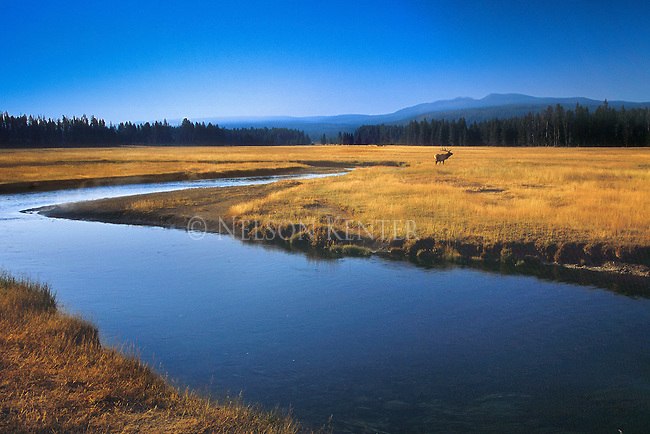 A bull elk adds to the natural beauty of a meadow in Yellowstone National Park