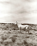 USA, Arizona, white horse running in field, Flagstaff (B&W)
