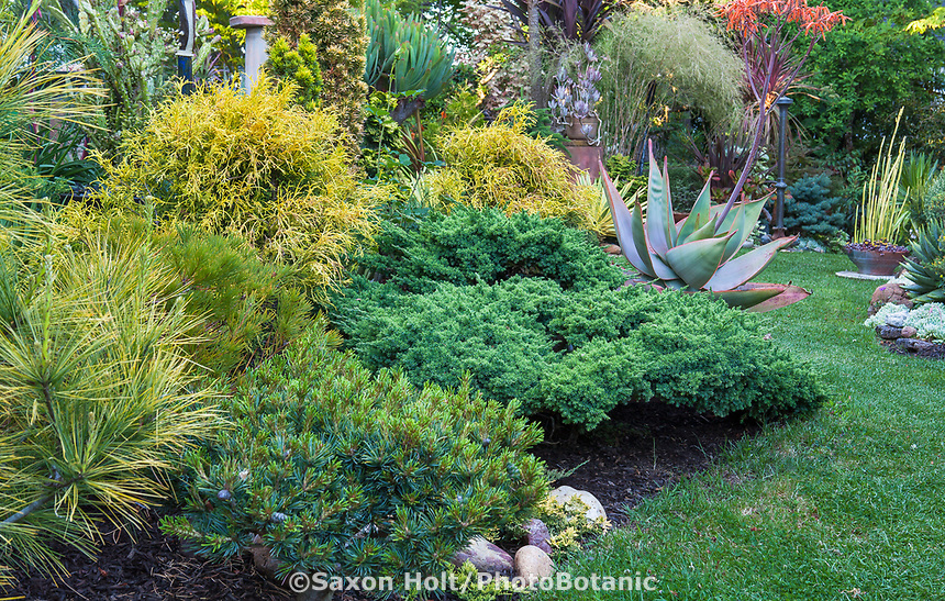 Conifer with mixed foliage colors in California plant collector garden - Carol Brant