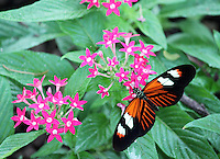 Stock photo: Gorgeous postman butterfly close up showing details spreading wings on cute pink flowers in the callaway gardens in Georgia, USA.