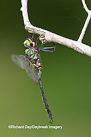 06556-00110 Clamp-tipped Emerald dragonfly (Somatochlora tenebrosa) male, Reynolds Co., MO