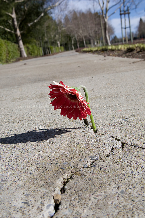flower breaking through concrete in sidewalk-11