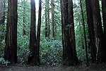Armstrong Redwoods