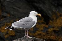Silbermöwe, Silber-Möwe, Möwe, Silbermöve, Larus argentatus, herring gull