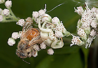 White-banded Crab Spider; Misumenoides formosipes; with dead honey bee probable prey; PA, Philadelphia, Wissahickon Park, Houston Meadow