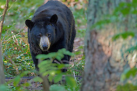 Black Bear (Ursus americanus).  Western U.S., fall.