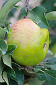 Apple 'Sure Crop', late September. An English dual-purpose culinary-dessert apple from Cheshire, 1905.