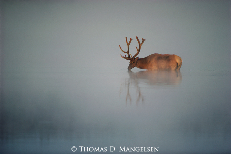 An elk drinks from the tributary of the Yellowstone River, early morning fog rising around him in Yellowstone National Park, Wyoming.