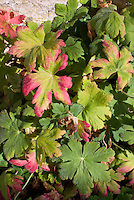 Geranium macrorhizum 'Album' in autumn fall foliage leaf color