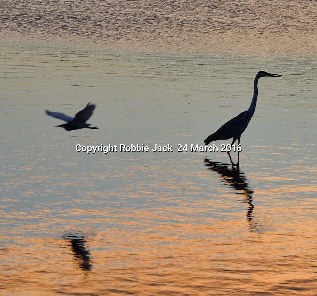 Yala National Park Sri Lanka<br /> Indian Pond Heron and a Grey Heron