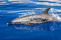 Pantropical Spotted Dolphin, Stenella attenuata, surfacing in the AuAu Channel between the islands of Maui and Lanai, Hawaii, USA. Pacific Ocean
