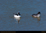 Bufflehead Male and Female, Goldeneye, Bolsa Chica Wildlife Refuge, Southern California