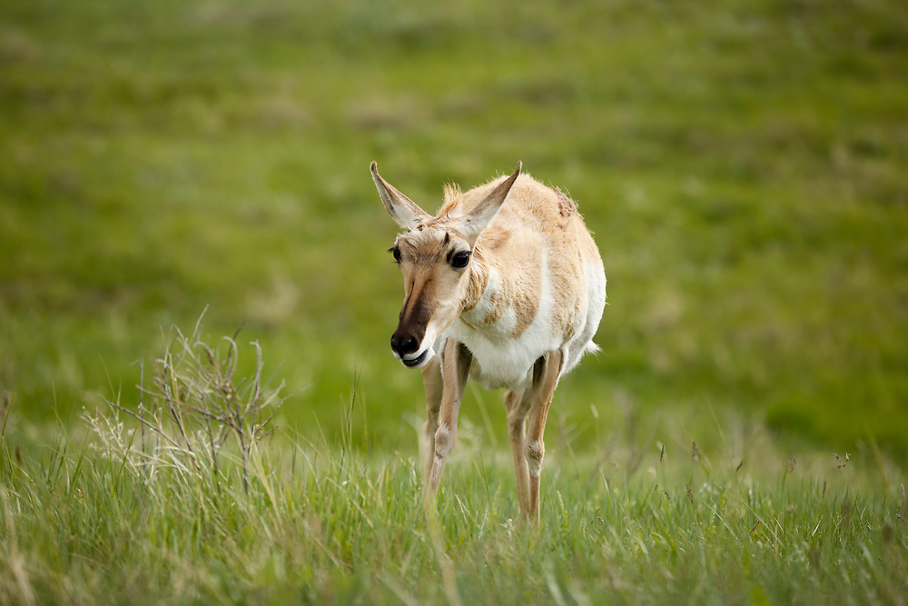 An antelope grazes along the Wildlife Loop Road in Custer State Park in South Dakota on Sunday, May 21, 2017. (Photo by James Brosher)