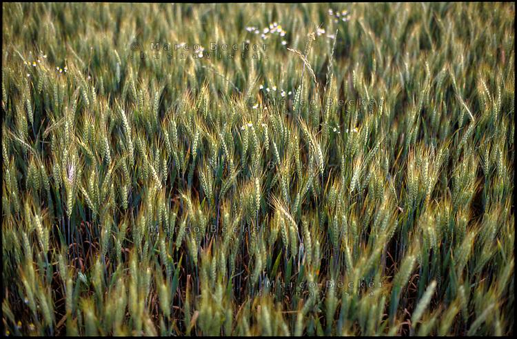 Parco Agricolo Sud Milano presso Morimondo. Grano verde --- Rural Park South Milan near Morimondo. Green wheat