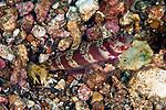 Amblyeleotris periophthalma, Broad-banded shrimpgoby, Lembeh, Indonesia