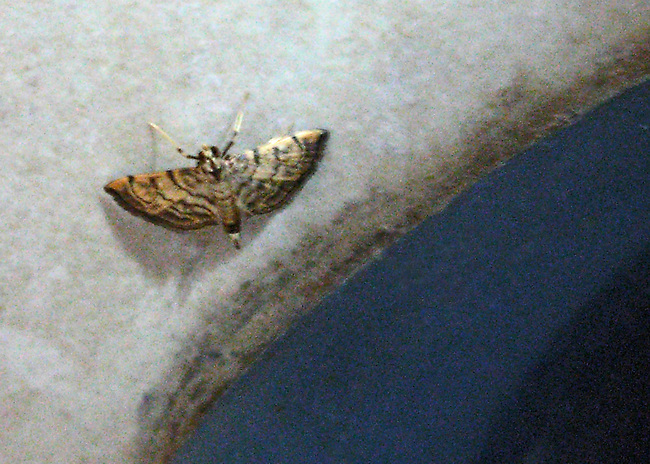 A very small, unidentified moth with brown striped or bands on a cream background that was sitting on the edge of a fountain n Costa Rica. Photograph added for catalogue purposes only. Not for print.