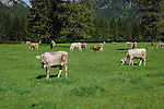 Cattle in spring pasture, Reutte district, Tirol, Austria