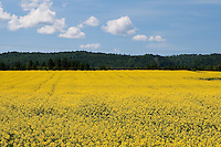 A canola field is seen in the Lac St-Jean region July 18, 2009. Lac St-Jean is the primary canola-growing areas of Quebec with more than 100 fields.