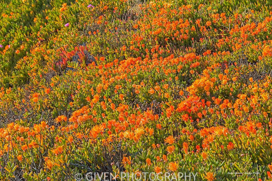 Orange ice plants in springtime