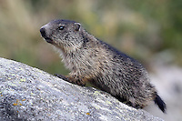Young Marmot on a stone