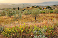 Olive trees and Belvedere House at sunrise, San Quirico d'Orcia, Tuscany, Italy