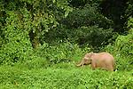 Borneo Pygmy Elephant (Elephas maximus borneensis) calf in secondary lowland rainforest, Kinabatangan River, Sabah, Borneo, Malaysia